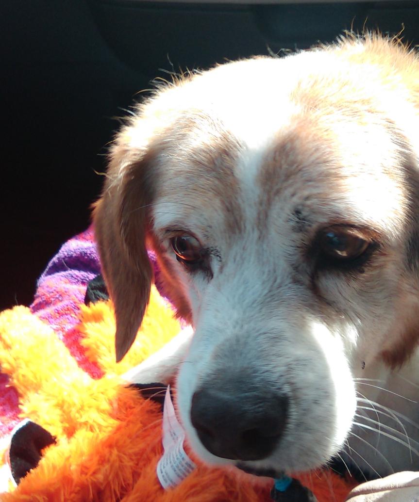 Rascal - Our Beagle